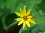 Hot Springs Mountain Trail Woodland Sunflower