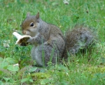 Fountain Street Wounded Squirrel Eating Mushrooms