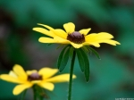 Goat Rock Trail Black-Eyed Susan