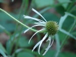 Goat Rock Trail Cone Flower
