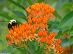 Goat Rock Trail Orange Butterfly Weed