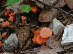 Gulpha Gorge Trail Tiny Orange Fungi