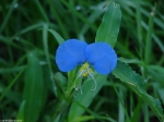 Carriage Road Asiatic Dayflower