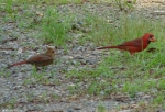 Carriage Road Male Cardinal Off Spring