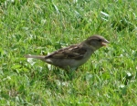 Arlington Lawn Female House Sparrow