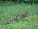 Fountain Street Lawn Squirrel