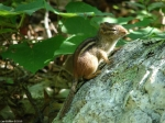 Goat Rock Trail Chipmunk