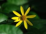 Gulpha Gorge Trail Woodland Sunflower