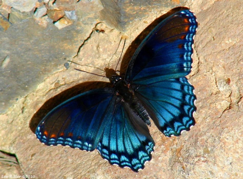 Floral Trail Bridge Dark Blue Butterflies