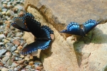 Floral Trail Bridge Dark Blue Butterflies
