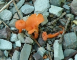 Floral Trail Orange Fungi