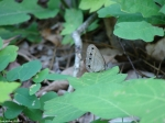 Hot Springs Mountain Trail Little Wood Saytr Butterfly