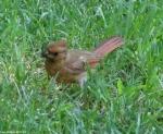 Arlington Lawn Baby Cardinals Foraging