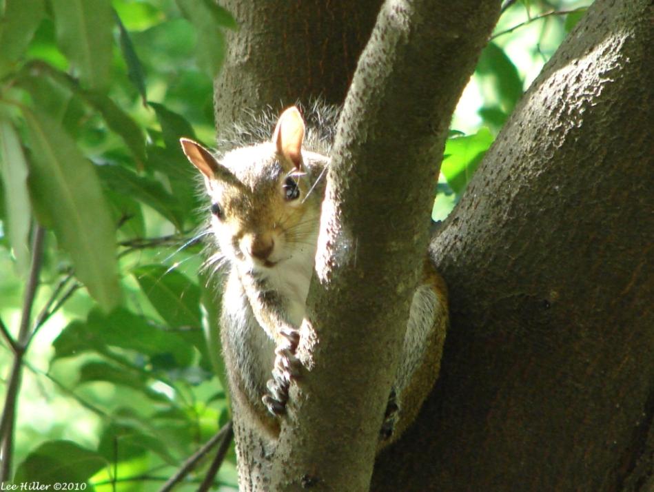 Arlington Lawn Squirrel