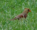 Entrance Female Cardinal