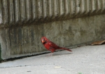 Entrance Molting Male Cardinal