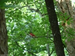 Floral Trail Summer Tanager
