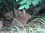 Hot Springs National Park, Arkansas Peak Trail Rabbit