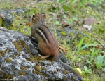 Hot Springs National Park, Arkansas Tufa Terrace Chipmunk
