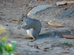 Arlington Lawn Squirrel