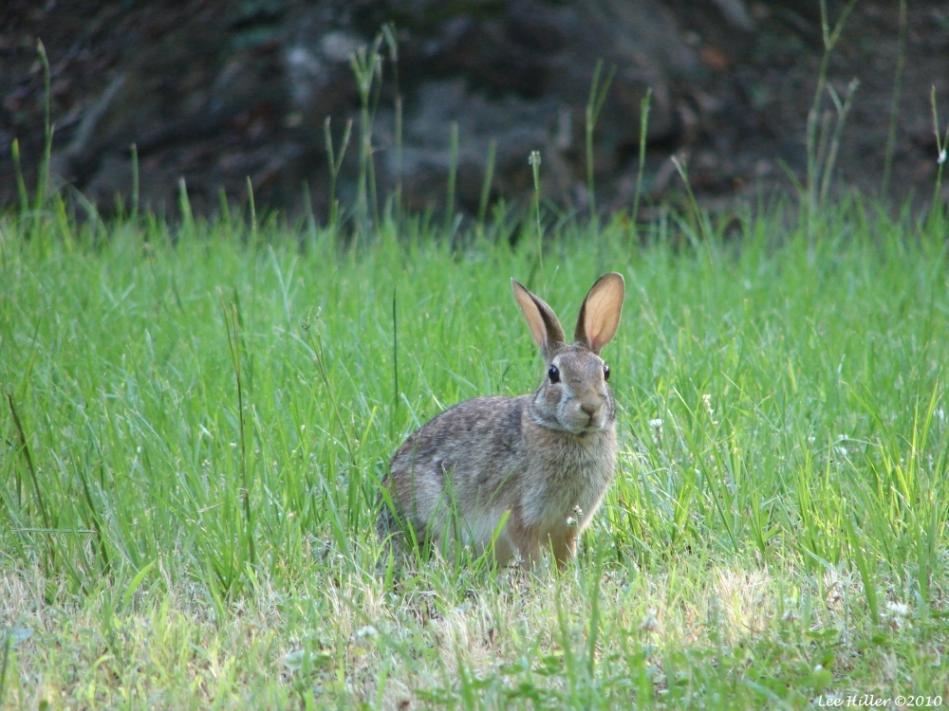 Peak Trail Wild Rabbit Eastern Cottontail