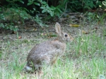 Peak Trail Wild Rabbit Eastern Cottontail