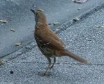 Tufa Brown Thrasher