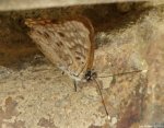 Fountain Street Wall Hackberry Emperor