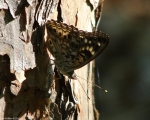 Hot Springs Mountain Trail Hackberry Emperor