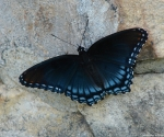 Hot Springs Mountain Trail Hut Dark Blue Butterfly