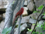 Tufa Terrace Cardinal