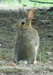 Peak Trail Eastern Cottontail