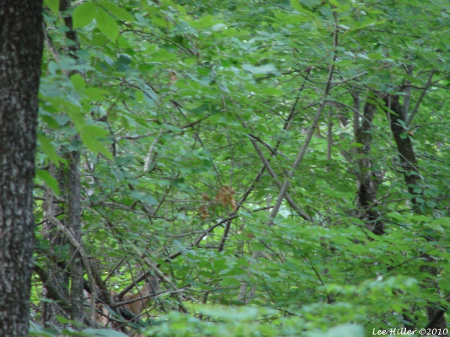 Upper Dogwood Trail Deer Young Buck