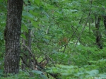 Upper Dogwood Trail Deer Young Buck