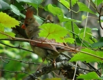 Lower Dogwood Female Cardinal And Chick