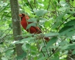 Lower Dogwood Male Cardinal