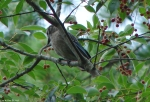 Lower Dogwood Northern Mockingbird Juvenile
