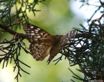 HSNP Carriage Road Hackberry Emperor Butterfly