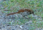 Carriage Road Brown Thrasher Baby