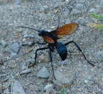 HSNP Carriage Road Insect Spider Wasp