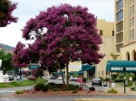 Central Avenue Flowering Tree