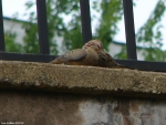 Promenade Mourning Dove Babies