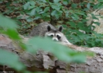 Lower Dogwood Trail Raccoon