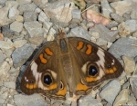 Carriage Road Common Buckeye Butterfly
