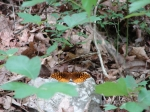 Dead Chief Trail Variegated Fritillary Butterfly