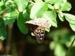 Hot Springs Mountain Trail Hackberry Emperor Butterfly