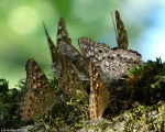 Peak Trail Hackberry Emperor Butterfly