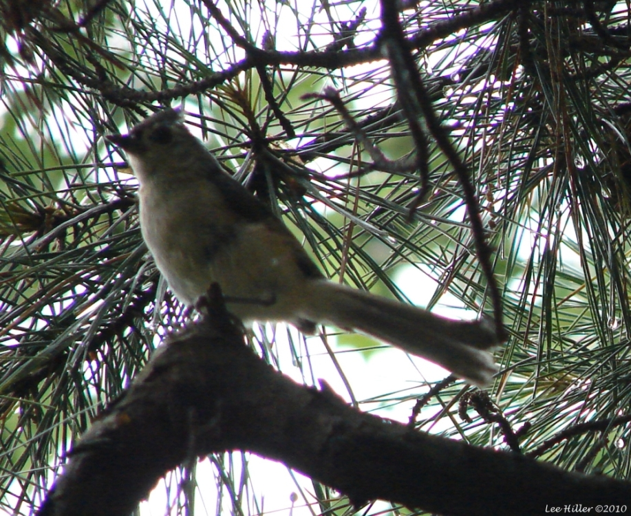 Hot Springs Mountain Trail Tufted Titmouse