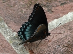Promenade Red Spotted Purple Butterfly