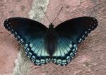 Promenade Blue Butterfly
